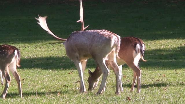Male deer video