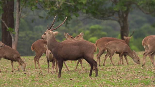 male deer with his herd - jelonek filmów i materiałów b-roll