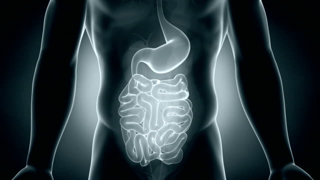 Male digestive system video