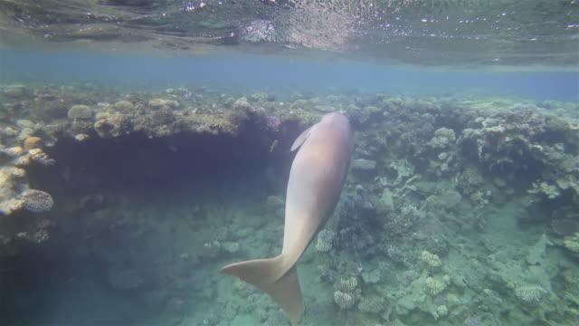 männliche dugong ( sirenia ) auf schönen korallenriff im roten meer - marsa alam - ägypten - bedrohte tierart stock-videos und b-roll-filmmaterial
