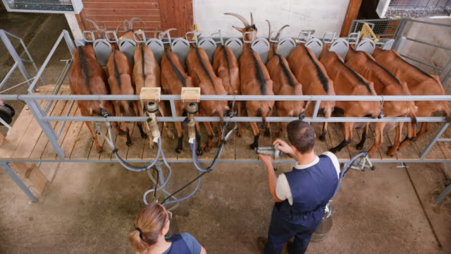 Male employee setting the milking machine onto the goats at the milking station