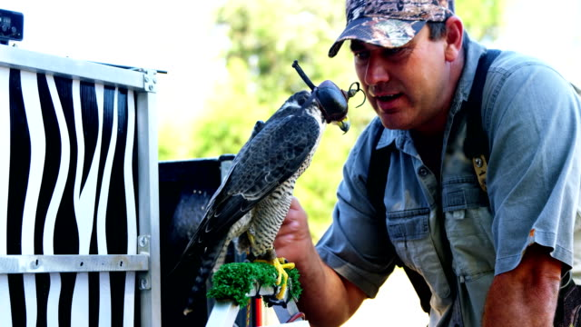 Male falconer stroking hooded falcon video