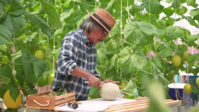 Male farmer cutting the slice of cantaloupe in the farm