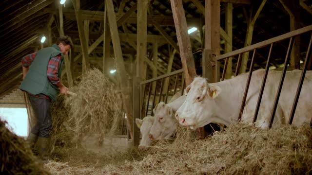 Male farmer feeding his cattle hay in the barn video