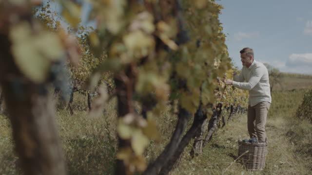 manlig jordbrukare skörd färska druvor - wine box bildbanksvideor och videomaterial från bakom kulisserna