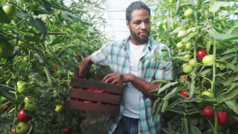 Male farmer harvesting fresh organic tomatoes. Young man farmer picking up organic tomatoes in the crate for his customers. He is working with pleasure in the greenhouse. choosing stock videos & royalty-free footage