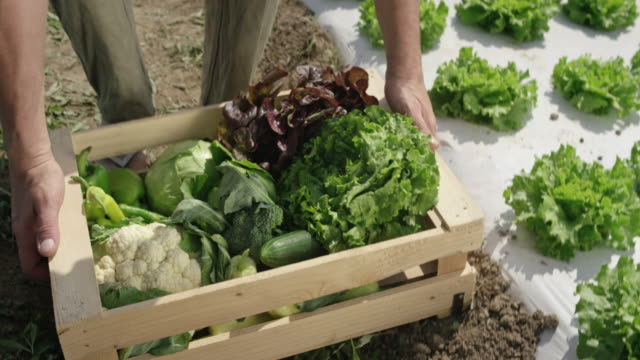 Male farmer picking up a wooden crate with vegetables off the ground video