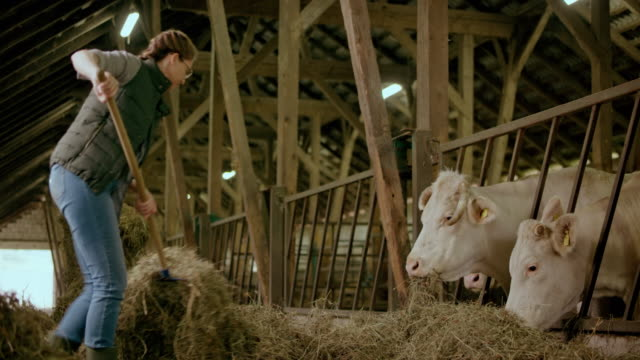 Male farmer pitching hay to her cattle in the barn video