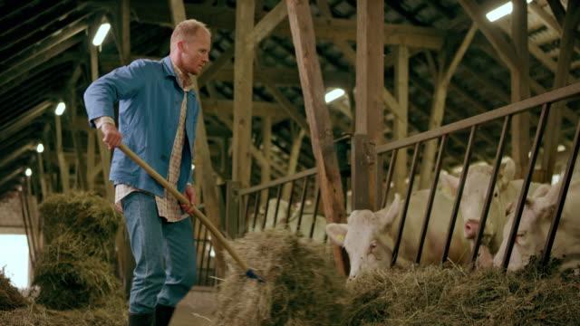 vidéos et rushes de agriculteur poisser foin son bétail dans l'étable - foin