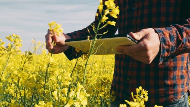 agricoltore maschio che usa tablet digitale in soleggiato campo di canola gialla rurale, in tempo reale - canola video stock e b–roll