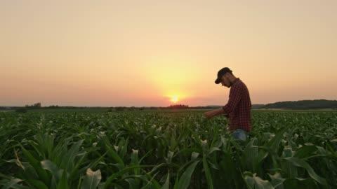 vidéos et rushes de agriculteur avec tablette numérique examen de maïs dans un domaine rural idyllique, au coucher du soleil, en temps réel - chapeau