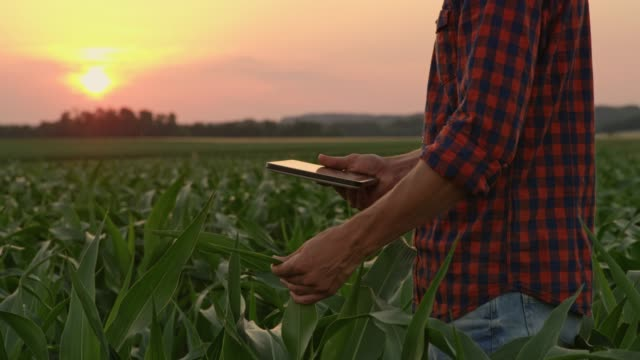 vídeos de stock e filmes b-roll de male farmer with digital tablet examining corn in idyllic,rural field at sunset,real time - farmer
