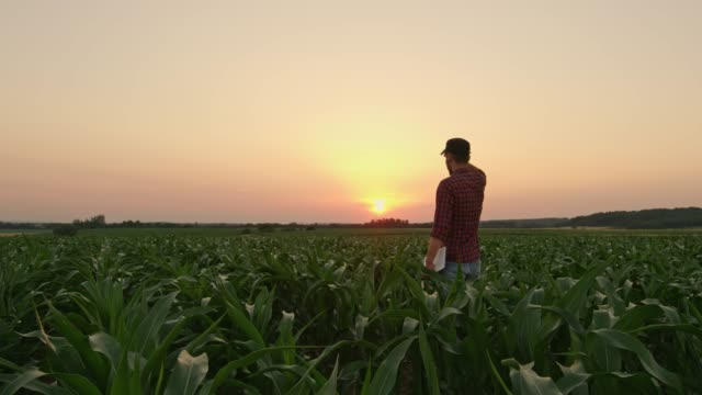 vídeos de stock e filmes b-roll de male farmer with digital tablet in idyllic,rural corn field at sunset,real time - farmer