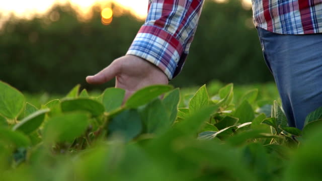 Male farmer's hands in soybean field, responsible farming and dedicated agricultural crop protection, selective focus. video