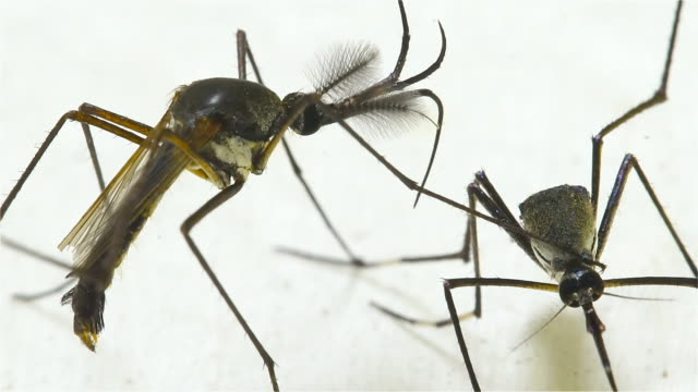 male female elephant mosquito (toxorhynchites splendens) - animale femmina video stock e b–roll