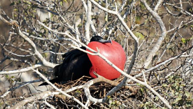 männlichen fregattvogels auf isla genovesa auf den galalagos-inseln, ecuador - fruchtwasserbeutel oder dottersack stock-videos und b-roll-filmmaterial