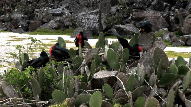 vídeos de stock, filmes e b-roll de fragatas masculinas em cactos na ilha genovesa na galalagos - ilha genovesa