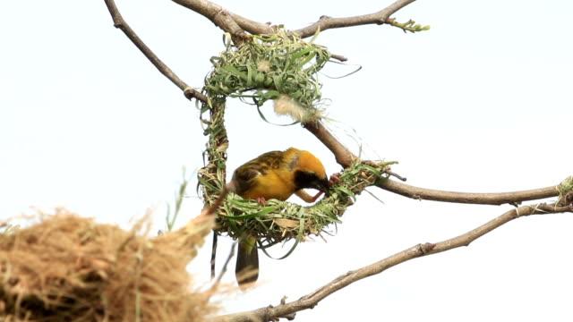 Male Golden Weaver make a nest. video
