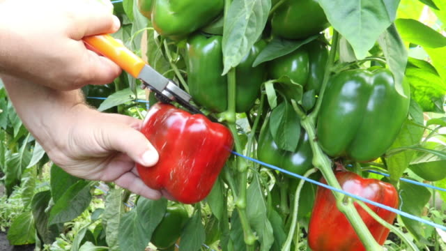 Male hand harvesting and cutting red paprika's off the plant in a horticulture greenhouse
