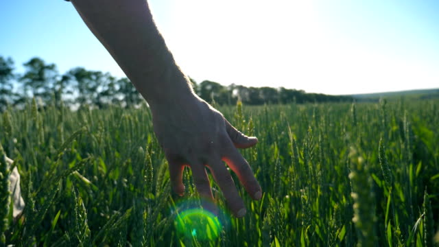 male hand moving over wheat growing on the plantation with sunlight at background. slow motion - stelo video stock e b–roll