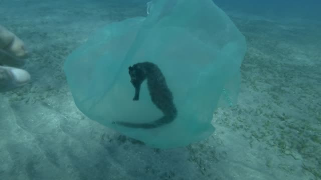 Male hand of a diver-volunteer frees a Seahorse entangled in a plastic bag. Plastic pollution of the ocean, plastic garbage in the water killing animals. Sea Horse from in plastic bag. 4K/50fps