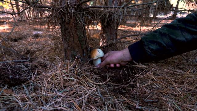 manliga handen plockar vit svamp vid roten av en tall. - höst plocka svamp bildbanksvideor och videomaterial från bakom kulisserna