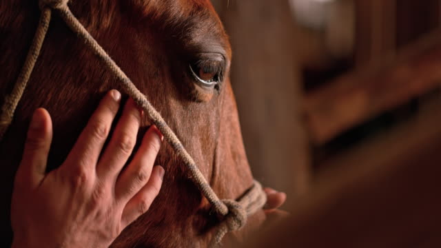 slo mo male hand stroking horse's cheeks - rancher video stock e b–roll
