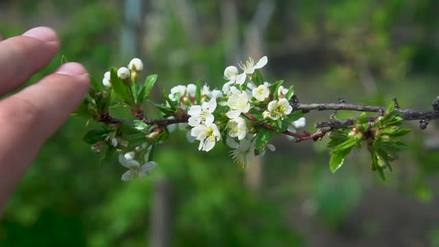 Male Hand Touches Apple Flowers. Branch with Apple Blossoms in the Garden Close-up. The concept of the Unity of Man with Nature
