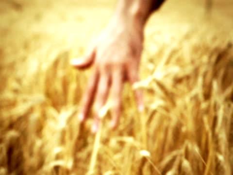 Male Hand Touching Barley video