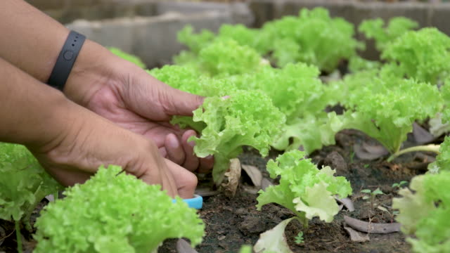 Male hands cutting green coral lettuce in homegrown farm