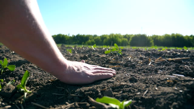 Male hands of farmer gently touching dry soil and pouring it back through his fingers on the field with small green sprouts of sunflower. Agriculture concept. Close up Slow motion Low angle view plantation stock videos & royalty-free footage