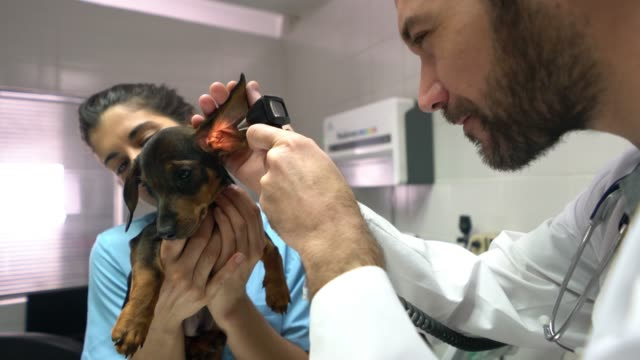 Male handsome vet doing an ear examination with an otoscope to a puppy with the help of his assistant video
