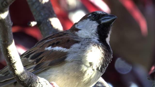 stockvideo's en b-roll-footage met male house sparrow (passer domesticus) - snavel