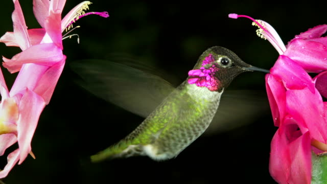Male hummingbird shows aggression chirping sound between 2 flowers video