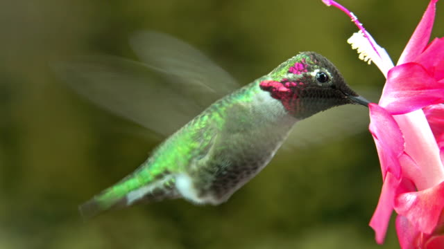 Male hummingbird visit pink flower - loop, mute video