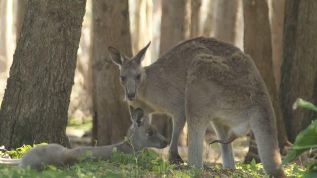 Male Kangaroo Wallaby Marsupial Animal Australia video