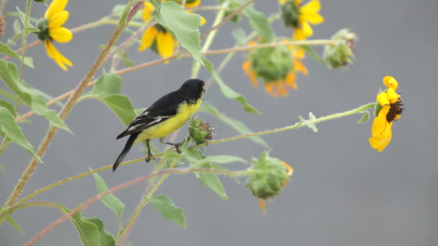 Male Lesser Goldfinch Eating Sunflower Seeds, Colorado video