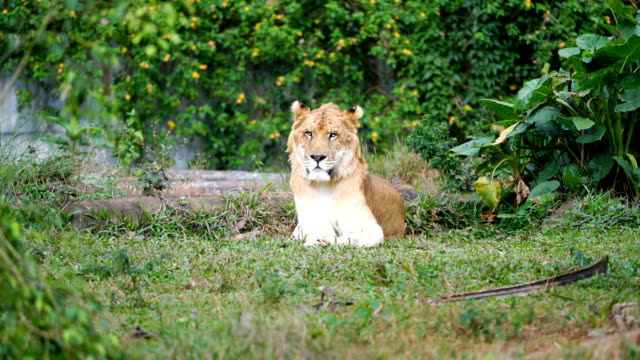 A male liger and a female liger, the liger is a hybrid offspring of a male lion and a female tiger.