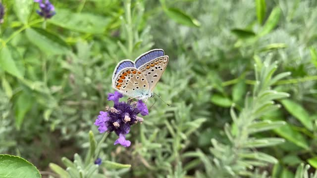 male lilac butterfly Polyommatus Icarus sits on a lavender flower and collects nectar. Diurnal butterfly, insect of the Poliommatinae family.