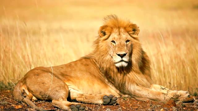 männliche löwe in masai mara - männliches tier stock-videos und b-roll-filmmaterial