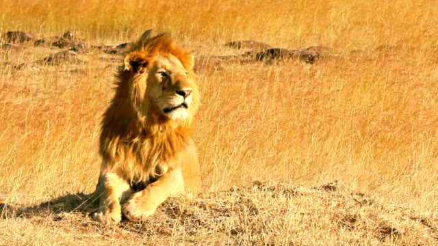 Male lion in Masai Mara video