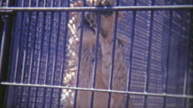 vídeos de stock e filmes b-roll de 1973: male lion jumping up on cage bars. - animal cativo