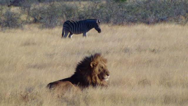 Male lion lick tongue zebras background Etosha Namiba Africa video