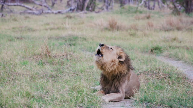 Male lion lying down and roaring, Botswana video