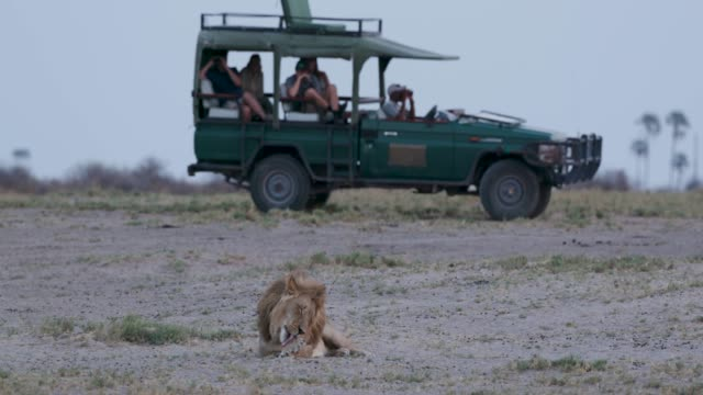 Male lion sitting with tourist 4x4 safari vehicle in the background, Botswana video
