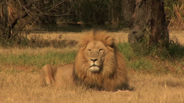 male lion video