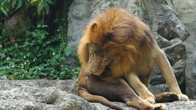 hd: männliche löwe - großwild stock-videos und b-roll-filmmaterial