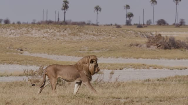 Male lion walking through the grasslands, Botswana video