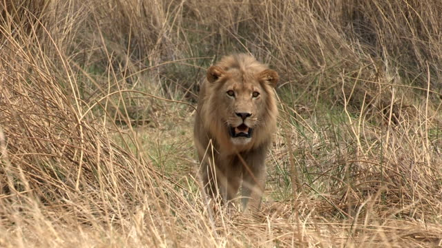 Male lion walking towards camera video