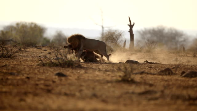 Male lion with kill video